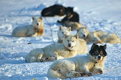 Sled Dogs at Alert Nunavut